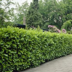 Prunus laurocerasus 'Rotundifolia' - Laurierhaag