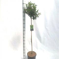 Prunus lusitanica 'Angustifolia' op stam met hoogte 100cm