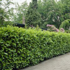 50 x Prunus laur. Rotundifolia - Laurierhaag met hoogte 60-80cm