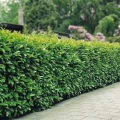 120 x Prunus laur. Rotundifolia - Laurierhaag met hoogte 60-80cm