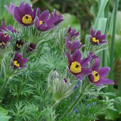 Pulsatilla vulgaris 'Pulsar Violet Shades'
