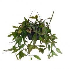 Rhipsalis elliptica - Koraalcactus in hangpot ↷ 45cm