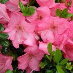 Rhododendron (AJ) 'Anouk' - Japanse Azalea