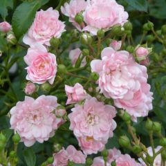 Rosa the Fairy 'Pink'