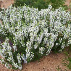 Salvia nemorosa 'Sensation White'