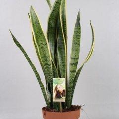 Sansevieria Laurentii- Vrouwentong ↕ 65cm