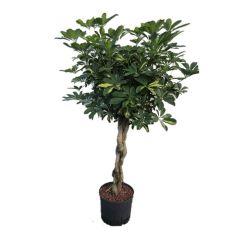 Schefflera Gold Capella - Vingersboom ↕ 120cm