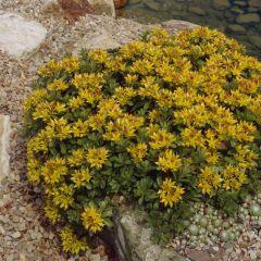Sedum floriferum Weihenstephaner Gold