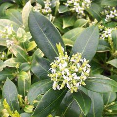 Skimmia japonica 'Kew White'