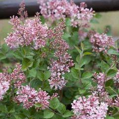Syringa bloomerang 'Pink Perfume'