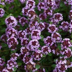 Thymus praecox 'Purple Beauty'