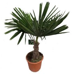 Trachycarpus Fortunei - Chinese henneppalm ↕ 100cm