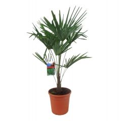 Trachycarpus Fortunei - Chinese henneppalm ↕ 130cm