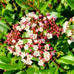 Viburnum tinus 'Ladybird'