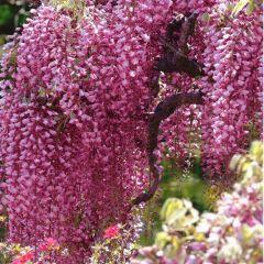 Wisteria floribunda Rosea