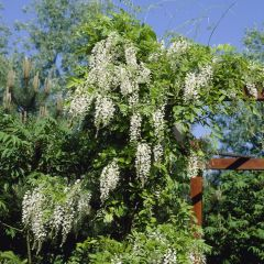 Wisteria sinensis 'Alba'