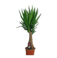 Yucca Elephantipes - Palmlelie ↕ 110cm