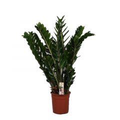 Zamioculcas Zamiifolia - Emeraldpalm ↕ 110cm